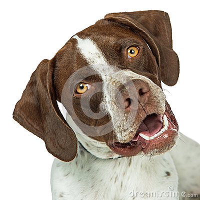 Free Closeup Shorthaired Pointer Breed Dog Tilting Head Stock Photo - 95164690