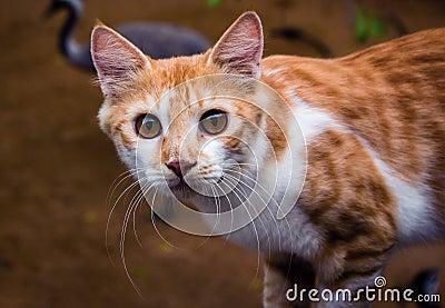 Closeup shot of Asian cat Stock Photo