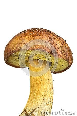 Closeup shot of boletus badius mushroom