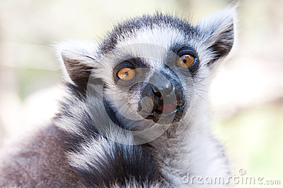 Closeup shot of Ring Tailed Lemur