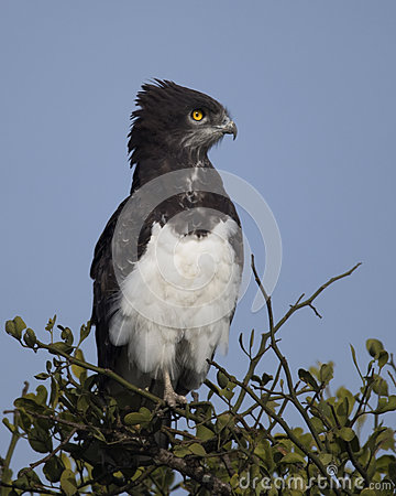 Free Closeup Sideview Of A Black-chested Harrier Eagle Sitting At The Top Of A Tree With Blue Sky Background Royalty Free Stock Photography - 82932417