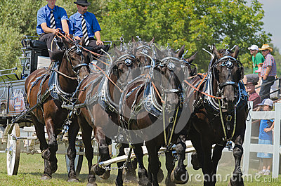 Closeup of a Six Horse Hitch Team of Heavy Draft H Editorial Stock Photo