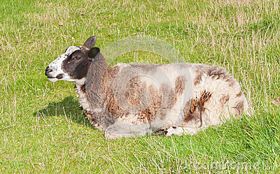 Closeup of a sleeping brown and white sheep