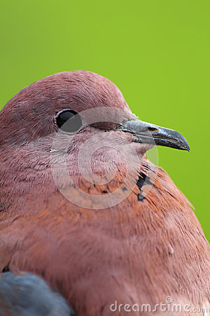 Closeup of stock dove