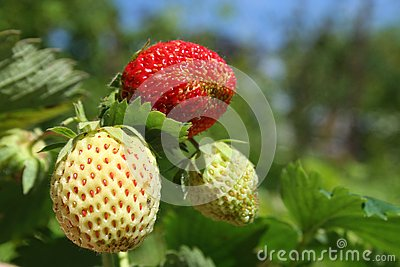 Closeup strawberries