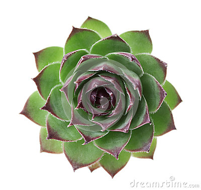 Free Closeup Succulent Sempervivum Isolated On White, Other Names Is Houseleeks, Liveforever And Hen And Chicks Stock Image - 59922401