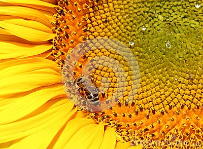 Summer background - sunflower with bee