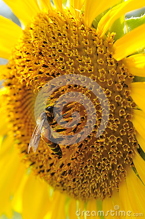 Closeup Sunflower with bee