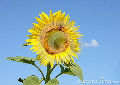 Closeup sunflower on the field