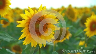 Closeup of sunflower on field background. Blooming sunflower on farmfield. Summer shiny scene with agricultural plants stock video footage