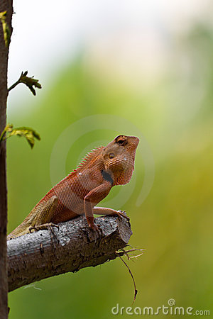 Free Closeup Thai Chameleon Royalty Free Stock Image - 18675016