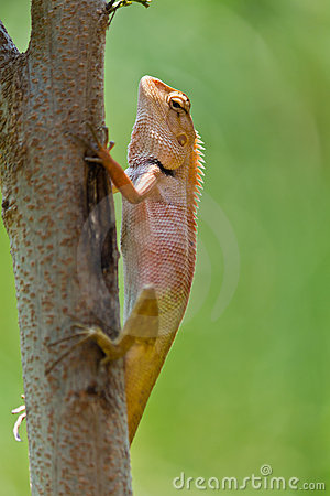 Free Closeup Thai Chameleon Royalty Free Stock Photos - 18983198