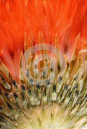 Free Closeup Thistle In Red Light Stock Photos - 86360873