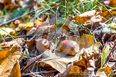 Closeup of two acorns