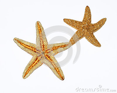 Starfishes couple on white background
