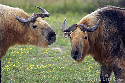Closeup of two Takins (Musk Ox Relative)