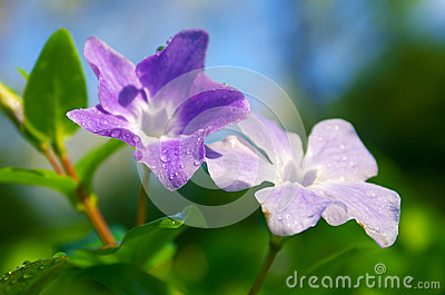 Drops on Violets