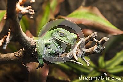 Closeup of an Ugly Frog