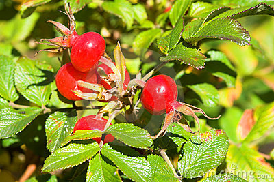 Closeup view berries of wild dog rose