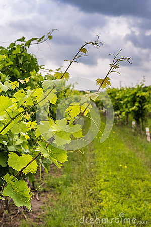 Free Closeup View Of Grapevine With Vineyard In Background Stock Photography - 83408052