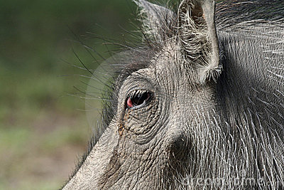 Closeup of warthog face