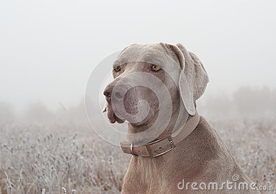Closeup of a Weimaraner dog