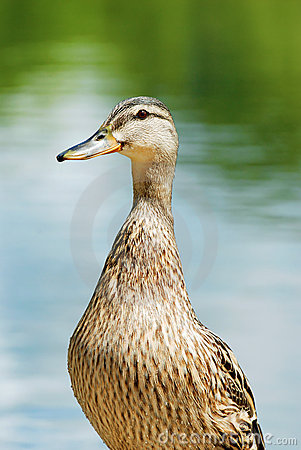 Closeup of a wet black duck