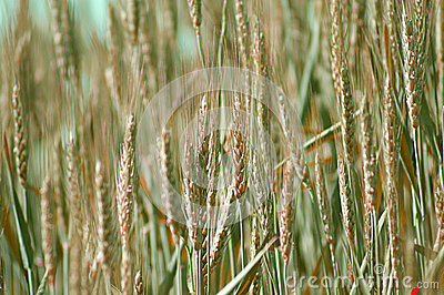 Closeup Of Wheat In A Field