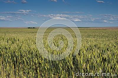 Closeup of wheat or grain