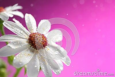 Fresh white daisy on pink background
