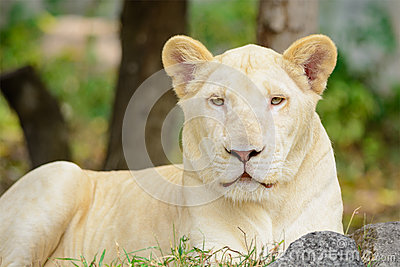 Closeup white lion Panthera leo look at the camera