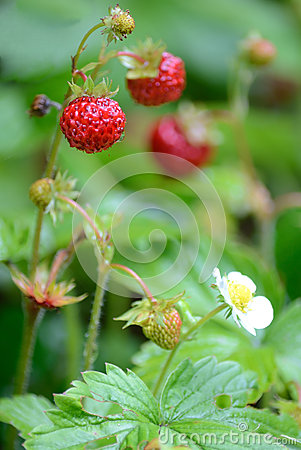 Closeup for wild strawberry