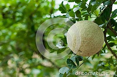 Closeup of wood-apple or Makwid