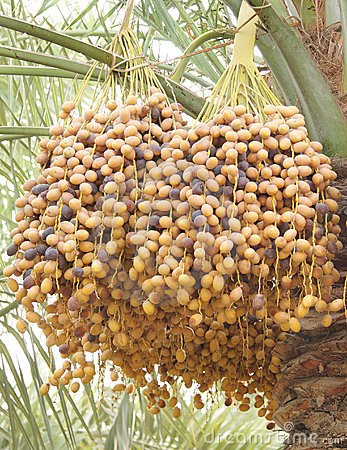 Closeup of yellow and dark brown ripen dates