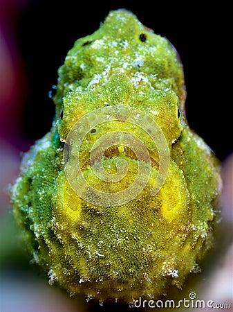 Closeup of a yellow longlure frogfish on a purple sponge, Bonaire, Dutch Antilles.