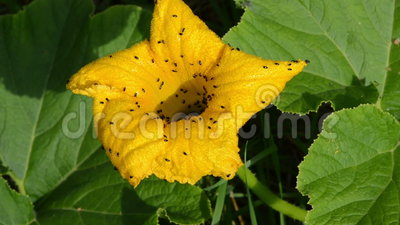 Closeup yellow pumpkin bloom move wind lot of beetle bugs walk. Closeup yellow pumpkin bloom move in wind and lot of small beetles bugs walk on it stock video