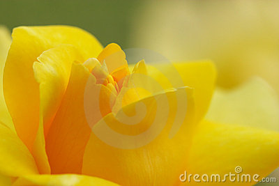 Closeup of yellow rose - soft focus