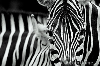 Closeup of zebra stripes