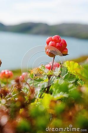 Free Cloudberries On The Beach Stock Photo - 77549800