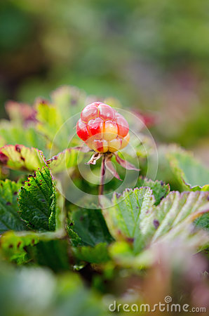 Free Cloudberries On The Beach Royalty Free Stock Photography - 77764757