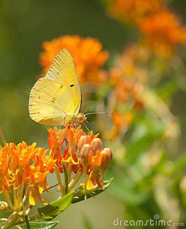 Free Clouded Sulphur Butterfly Royalty Free Stock Image - 15596376