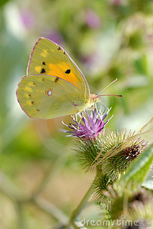 Free Clouded Yellow Butterfly Feeding On Flower Stock Images - 18391264