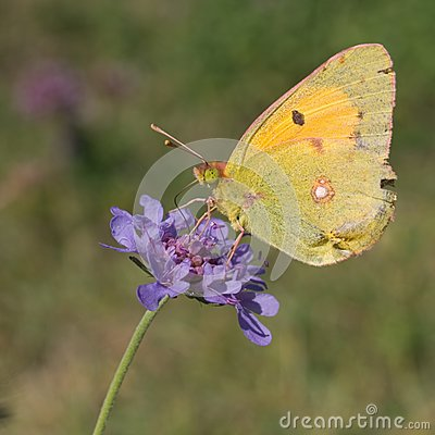 Clouded Yellow on field scabious