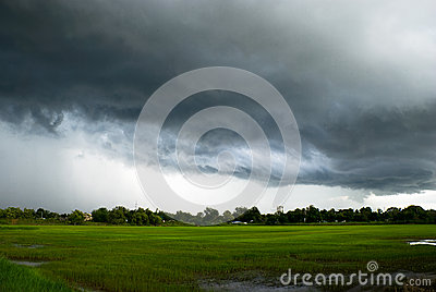 Cloudy rice field
