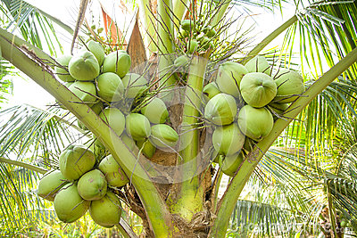 Clouse up, Bunch of Coconuts on Coconut Tree