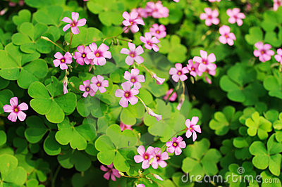 clover flower background