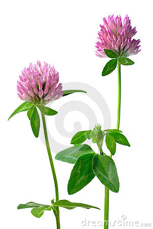 Free Clover Flowers Isolated Stock Image - 1210431
