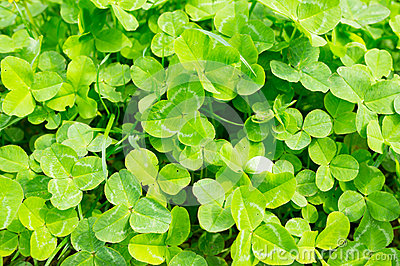 Clover plants Stock Photo