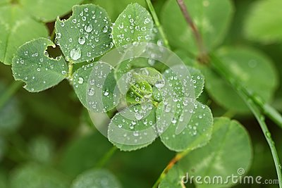 Clover with water drops