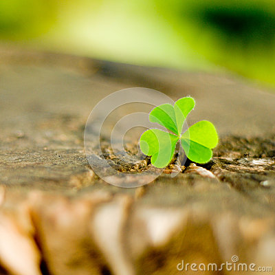 Clover on a wood